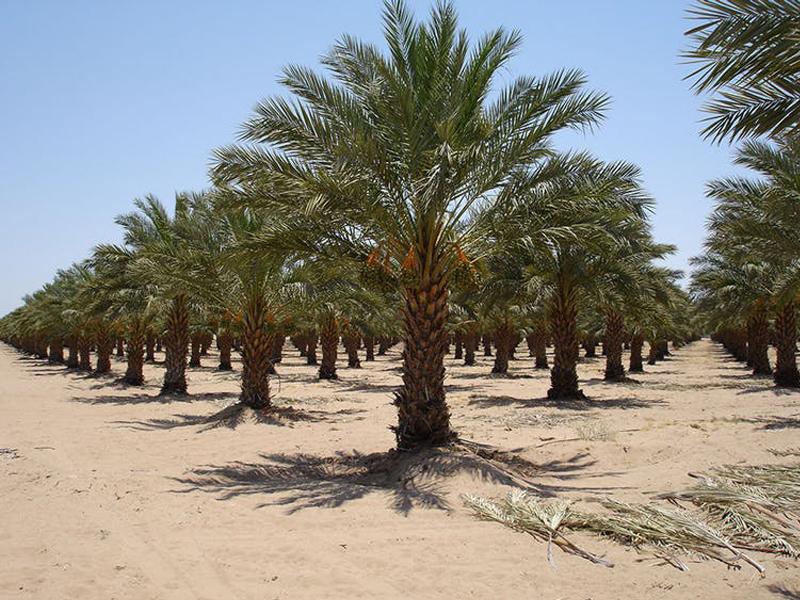 Native palms nursery, Wahat Al Sahraa