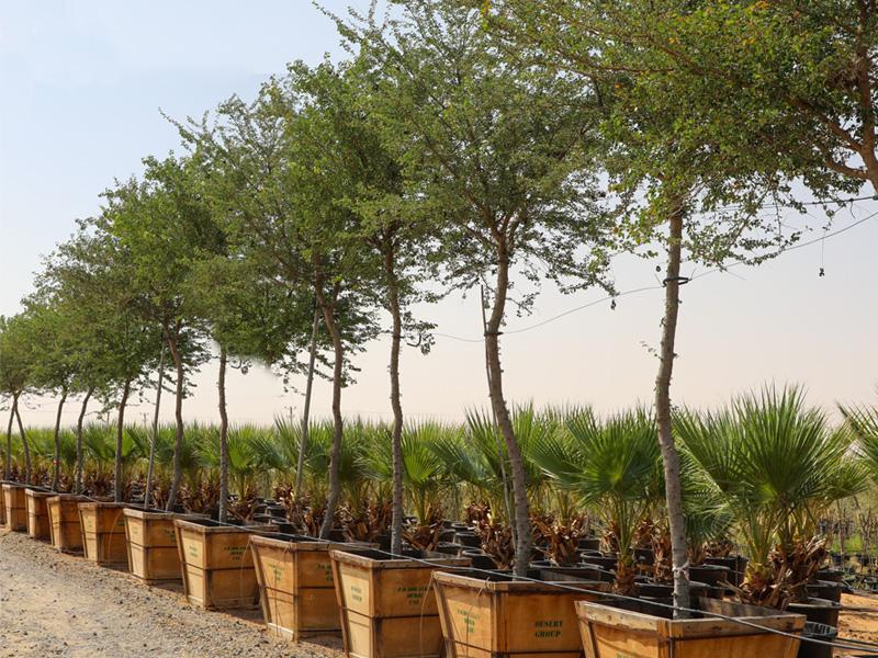 Native plants nursery, Wahat Al Sahraa
