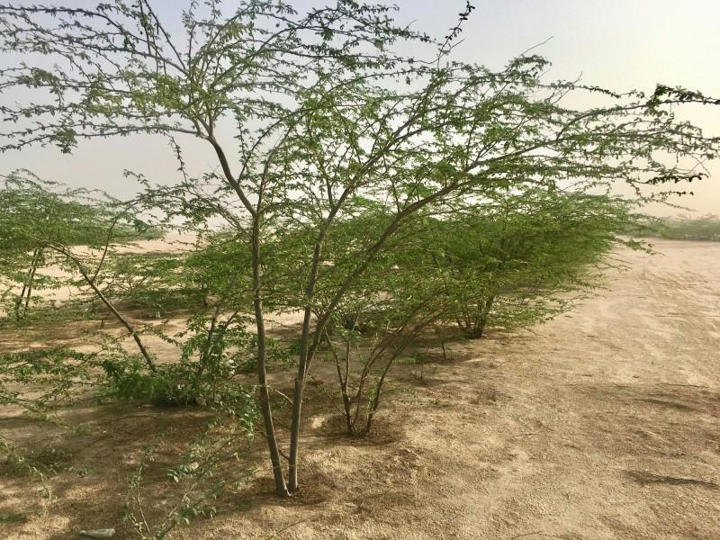 Native trees nursery, Wahat Al Sahraa